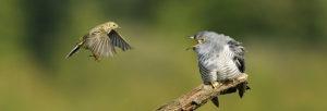cuckoo-0001468-edmund-fellowes